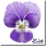 ビオラの花びらを描きましょう2